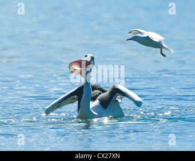 Australian Pelican feeding (Pelecanus conspicillatus), Minnamurra, New South Wales, Australia - Stock Photo