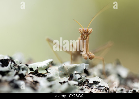 brown small mantis standing on lichen - Stock Photo