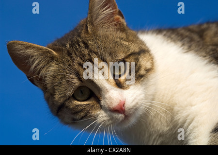 Portrait of a young cat against very blue sky looking down at camera - Stock Photo