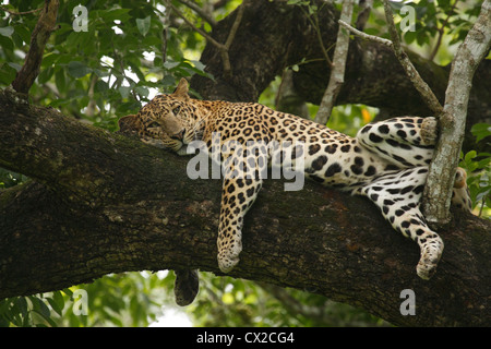 Indian leopard (Panthera pardus fusca) resting on a tree in the dense forests of Western Ghats in Southern India. - Stock Photo