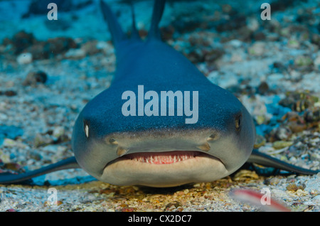 underwater reef in Cocos island, Costa Rica, fish, shark, white tip shark, ocean, sea, sea life, scuba, diving - Stock Photo