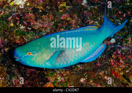 underwater reef in Cocos island, Costa Rica, fish, parrot fish, colorful, color, tropical reef, ocean, sea, scuba, - Stock Photo