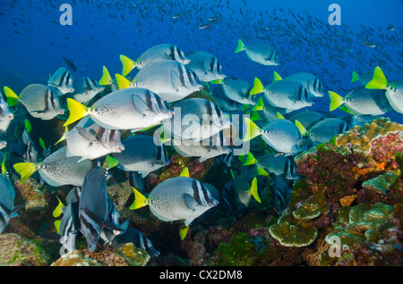 underwater reef in Cocos island, Costa Rica, fish, school of fish, community, together, family, society, surgeon - Stock Photo