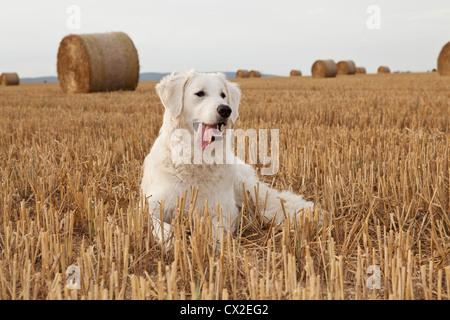Kuvacz Hund Welpen puppies dog white sitting sitzend Wiese grün green grass aufmerksam attentively Europa Europe - Stock Photo
