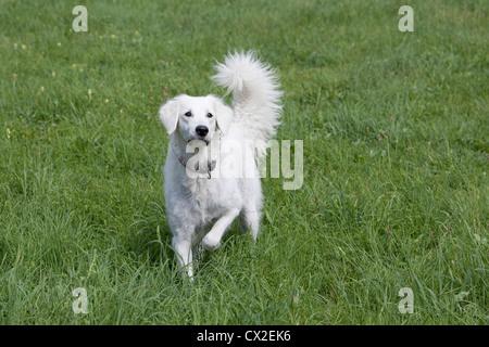 Kuvacz Hund Welpen puppies dog white sitting sitzend Wiese grün green grass aufmerksam attentively - Stock Photo