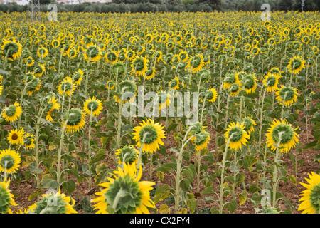 Sunflowers near El Torcal de Antequera Nature Reserve, Spain. - Stock Photo