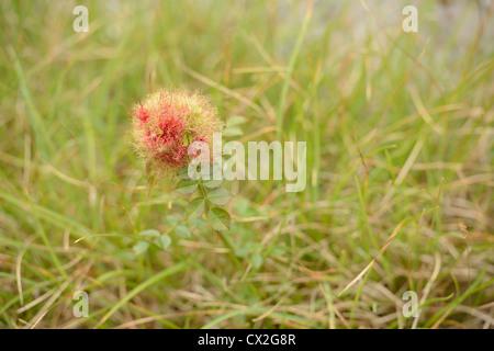 wild dog rose - Stock Photo