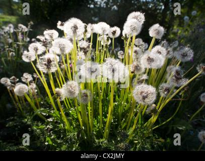 Dandelions (  Taraxacum officinale ) propagating - Stock Photo