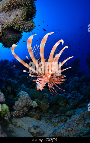 Red Sea, underwater, coral reef, sea life, marine life, ocean, scuba diving, vacation, water, lion fish, dangerous, painful