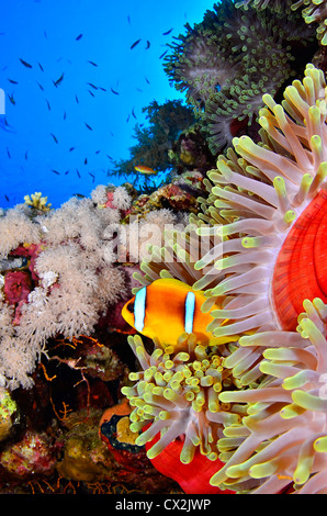 Red Sea, underwater, coral reef, sea life, marine life, ocean, scuba diving, vacation, water, fish, anemone, anemone - Stock Photo