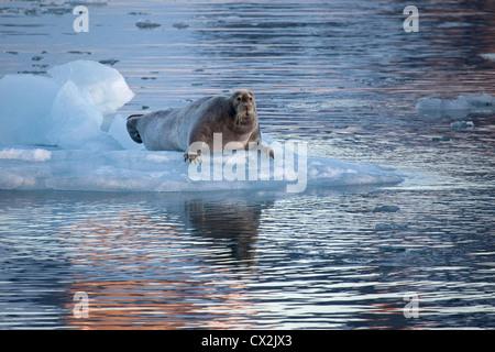 Bearded seal (Erignathus barbatus) resting on ice floe at Svalbard, Spitsbergen, Norway - Stock Photo