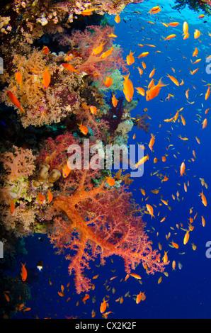 Red Sea, underwater, coral reef, sea life, marine life, ocean, scuba diving, vacation, water, fish, anthias fish, - Stock Photo