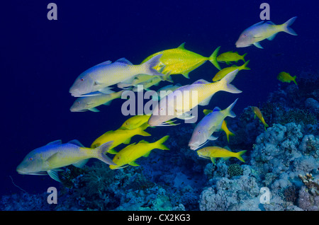 Red Sea, underwater, coral reef, sea life, marine life, ocean, scuba diving, vacation, water, fish, goat fish, school - Stock Photo