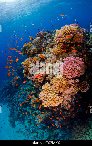 shallow coral reef with hard corals and anthias fish in the Red Sea, Egypt, blue water, deep, ocean, sea, deep, - Stock Photo