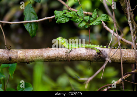 A female green basilisk lizard in the national park of Tortuguero, Costa Rica. - Stock Photo