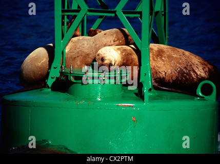 Two sleey sea lions on a buoy in Prince William Sound,Alaska - Stock Photo