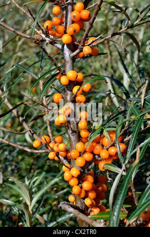 The edible yellow-orange fruits of Sea Buckthorn [Hippophae rhamnoides]. - Stock Photo