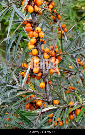 The edible yellow-orange fruits of Sea Buckthorn [Hippophae rhamnoides]. Stock Photo