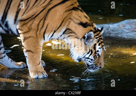 Siberian tiger drinking from a dark pool - Stock Photo