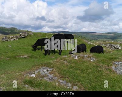dh Kilmartin Glen DUNADD ARGYLL Black sheep flock Dunadd Hillfort Crag fort Dalriada
