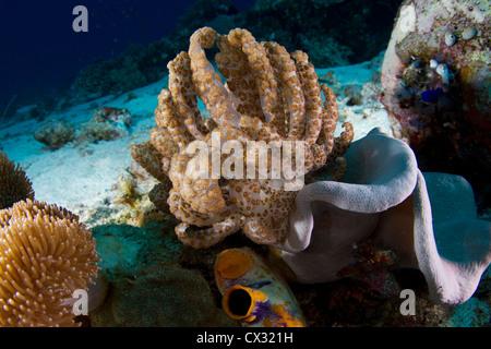 solar powered nudibranch Phyllodesmium longicirrum on leather coral sarcophyton elegans - Stock Photo