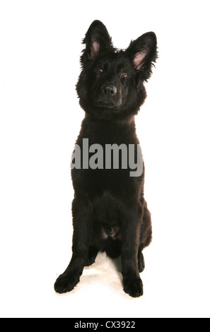 German Shepherd Dog Single juvinile sitting in a studio UK - Stock Photo