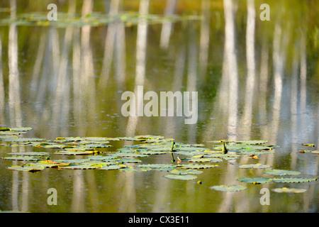 Birch tree reflections in beaver pond, Greater Sudbury, Ontario, Canada - Stock Photo