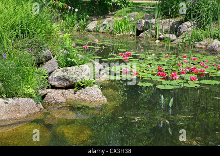 Tropical pink water lilies in a garden pond. - Stock Photo