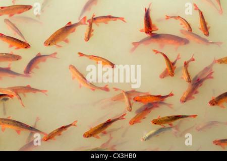 Rudd; Scardinius erythropthalmus; pond; UK - Stock Photo