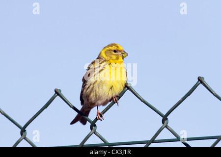 Serin; Serinus serinus; Spain; food around its beak - Stock Photo