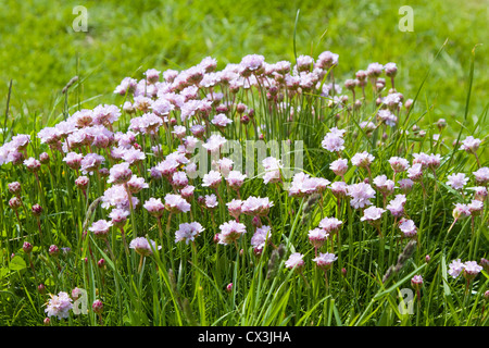 Thrift flowering on the cliff top Durlston Country Park, Swanage, Dorset - Stock Photo