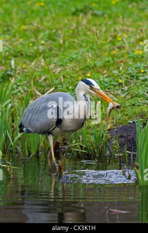Grey Heron (Ardea cinerea) eating caught fish in beak, Germany - Stock Photo