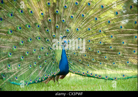 Peacock display feathers - Stock Photo