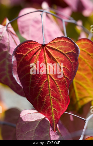 Sunlight shining through the leaves of Cercis canadensis 'Forest Pansy'. - Stock Photo