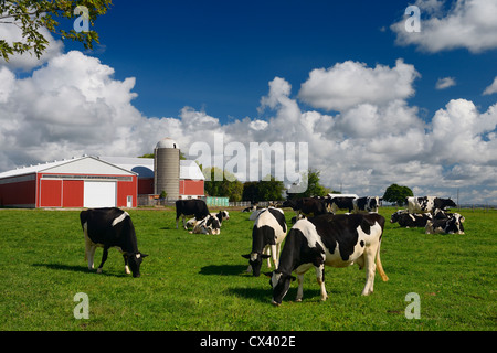 Holstein cows grazing in a grassy farm pasture with red barn and silo in summer Vaughan Ontario - Stock Photo