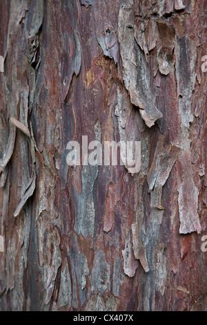 Bark 'Pacific  (Western) Yew ' tree 'Taxus brevifolia'. - Stock Photo