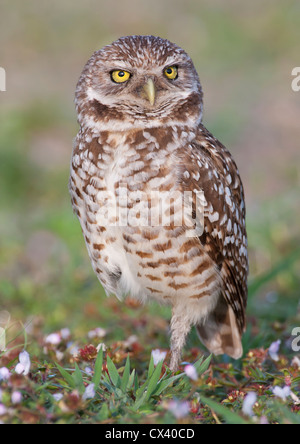 Adult burrowing owl standing in wildflowers - Stock Photo