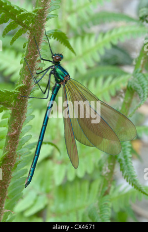 Beautiful demoiselle (Calopteryx virgo). Immature male. Sussex, UK. May. - Stock Photo