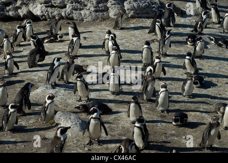African Jackass Penguin (Spheniscus demersus) rookery at Betty's Bay, South Africa - Stock Photo