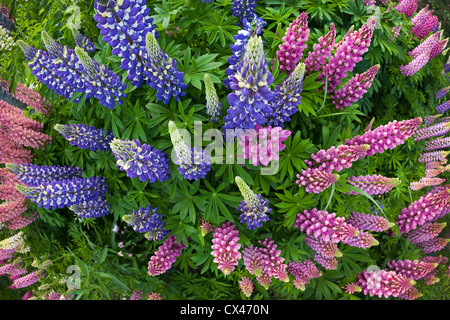 A clump of large-leaved Lupines in bloom (Lupinus polyphyllus)   Massif de Lupins (Lupinus polyphyllus) en fleurs. - Stock Photo