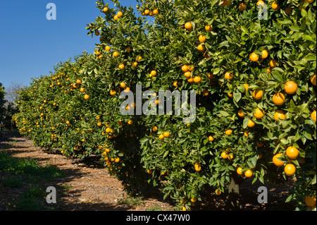 Portugal, the Algarve, an orange orchard - Stock Photo