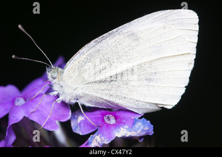 Cabbage White Butterfly (Pieris rapae) - Stock Photo