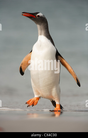 The long-tailed Gentoo penguin, Pygoscelis papua, in Bull Point at the extreme South of East  Falkland Islands
