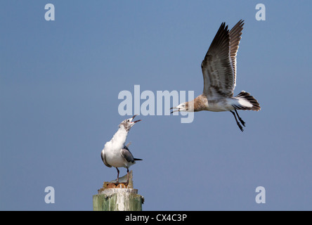 A subadult laughing gull (Larus atricilla) approaching an adult - Stock Photo