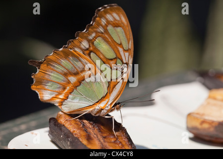 A Malachite butterfly (Siproeta stelenes) feeding on a banana slice at The Butterfly Farm outside of San Jose. - Stock Photo