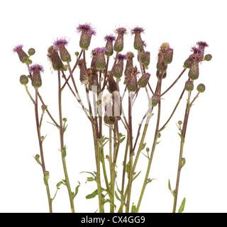 flower thistle (Cirsium arvense) on white - Stock Photo