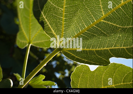 Sunshine and light passing captured through large green fig leaf contrast against blue sky - Stock Photo