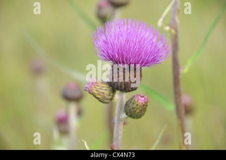 Wild pink thistles - Stock Photo
