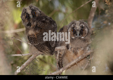 Juvenile Long-eared Owl (Asio otus) in a tree. Stock Photo
