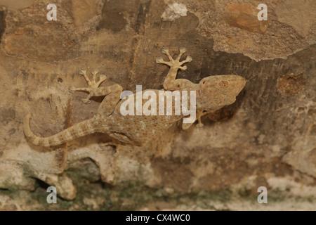 Sinai Fan-fingered Gecko, (Ptyodactylus guttatus) Photographed in Israel in July